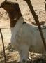 Grass Fed Goat - Halal