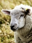 Sheep - High Genetics for Breeding